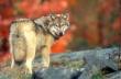 Gray Wolf (Canis lupus) by GaryKramer.net, 530-934-3873, gkramer@cwo.com
